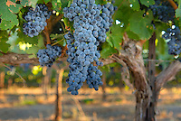Clusters of red wine grapes ready for harvest, Yakima Valley Wine Region Washington USA