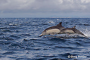 long-beaked common dolphins, Delphinus capensis (formerly lumped with common dolphin, Delphinus delphis ) porpoising out of water, off San Diego, California, U.S.A. ( eastern Pacific Ocean ) (dm)