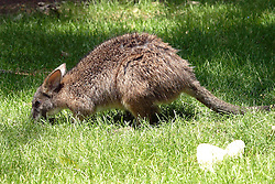 05 June 2005:   A wallaby is a small- or mid-sized macropod found in Australia. They belong to the same taxonomic family as kangaroos and sometimes the same genus, but kangaroos are specifically categorised into the six largest species of the family. The term wallaby is an informal designation generally used for any macropod that is smaller than a kangaroo or wallaroo that has not been designated otherwise