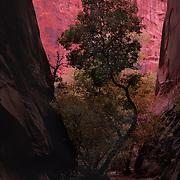 Lone tree between narrow canyon walls in Long Canyon, Grand Staircase National Monument, Utah.