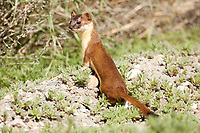 A Long Tailed Weasel searches for mice along the side of a farmers field in northern Utah.