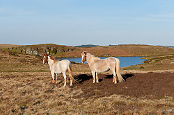 © Licensed to London News Pictures. 05/05/2016. Builth Wells, Powys, Wales, UK. Welsh ponies are seen in the early morning sunshine on the Mynydd Epynt moorland in Powys, Wales, UK. Photo credit: Graham M. Lawrence/LNP