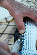 Israel, Coastal Plains, Kibbutz Maagan Michael, Injecting a tracking device into a Mullet fish of the breeding school. The device is then used to control and monitor the treatment