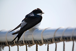 MEDITERRANEAN SEA ARCTIC SUNRISE 4MAY08 - A Swallow on deck of the Greenpeace ship Arctic Sunrise in the Mediterranean ahead of the driftnet fishing campaign in the Ionian Sea...jre/Photo by Jiri Rezac..© Jiri Rezac 2008..Contact: +44 (0) 7050 110 417.Mobile:  +44 (0) 7801 337 683.Office:  +44 (0) 20 8968 9635..Email:   jiri@jirirezac.com.Web:    www.jirirezac.com..© All images Jiri Rezac 2008 - All rights reserved.