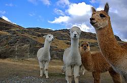 Em um parque situado em Queenstown - onde foram gravadas cenas do filme Senhor Dos Aneis - animais são criados em liberdade, possibilitando o contato com visitantes. FOTO: Lucas Uebel/Preview.com