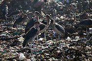 Maribu storks pick at trash as residents sort through garbage to find recyclable items to sell at the Dandora Municipal Dumping Site in Nairobi, Kenya June 29, 2008. Scavengers search for items to sell such a metal and plastic bottles which sell for roughly half a dollar per kilogram. Daily over 2000 tons of garbage are delivered to the site which a 2007 study commissioned by the U.N. Environment Program found that half of 328 children tested round the site had lead concentrations in their blood exceeding the internationally accepted level..