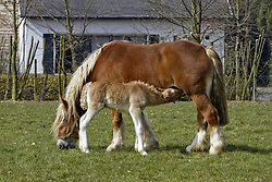 Boerenpaard<br /> Stoeterij Diepenstijn - Steenhuffel 2003<br /> Photo © Dirk Caremans