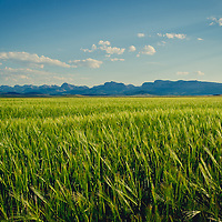backlit wheat field along the rocky mountain front near dupuyer montana