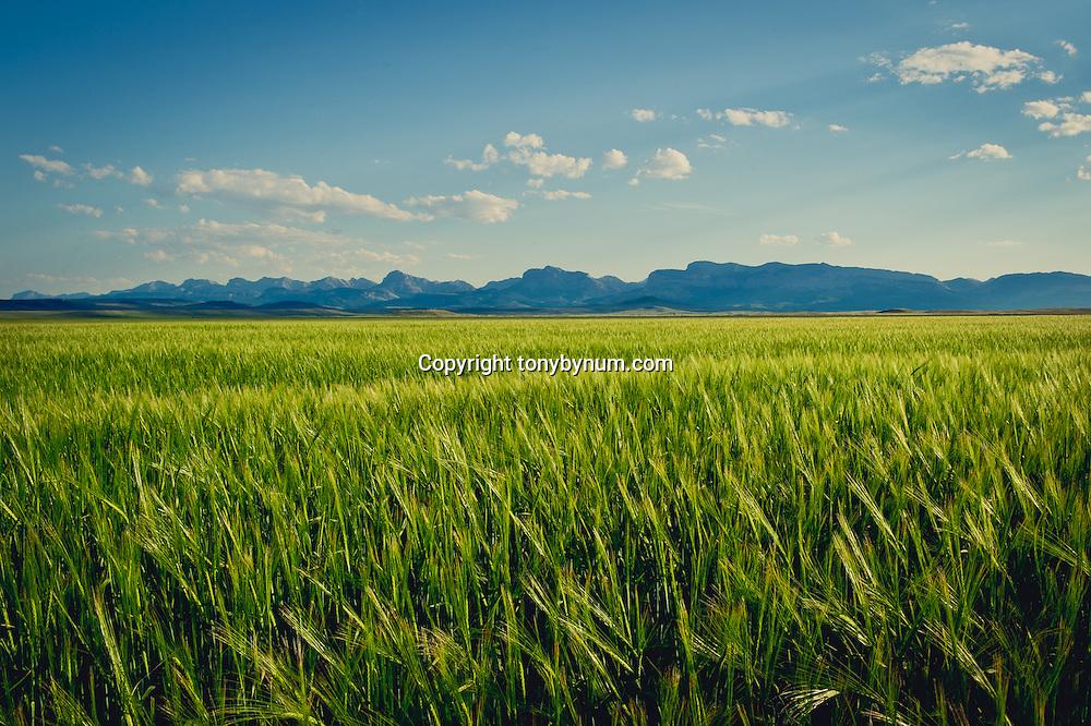backlit wheat field along the rocky mountain front near dupuyer montana