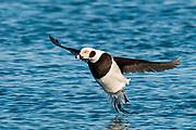 Long-tailed Duck, Clangula hyemalis, St. Clair River, Michigan