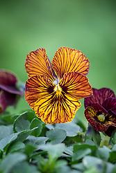 Viola 'Tiger Eye Red'