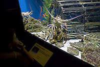 Little Boy Looking at Florida Spiny Lobster Exhibit, Newport Aquarium, Kentucky