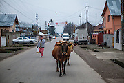 Street life on the main road in Marginenii de Jos - cows are walking back from the field home.