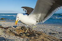 Kelp Gull at its nest site along the coastline, De Hoop Nature Reserve and marine protected area, Western Cape, South Africa
