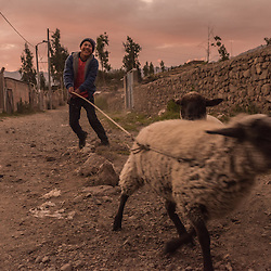 Young boy is taking his sheep for a walk through the village at sunset, Cabanaconde, Peru.