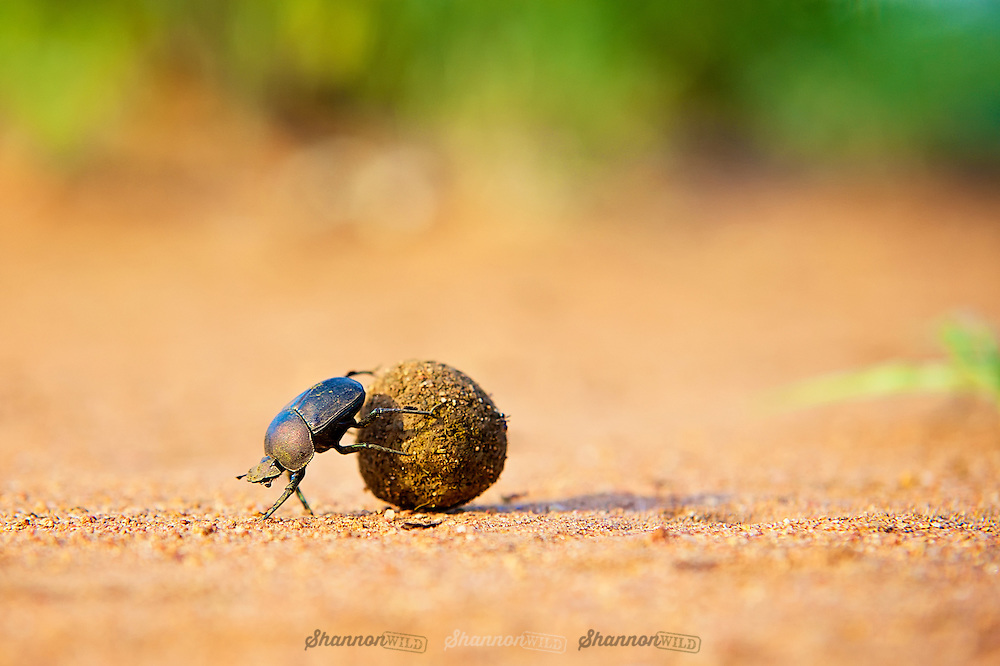 Dung beetle rolling ball of feces.<br /> <br /> Dung beetles are beetles that feed partly or exclusively on feces. Many dung beetles, known as rollers, roll dung into round balls, which are used as a food source or brooding chambers.