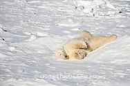 01874-110.16 Polar Bear (Ursus maritimus) near Hudson Bay, Churchill  MB, Canada