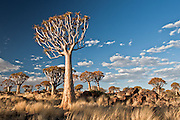 Quiver Tree Forest, Namibia.