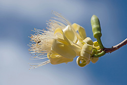 A small bee gathers pollen from a boab flower.  The boab (Adansonia gregorii) flowers just before  and during the wet season.