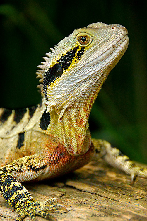 Eastern Water Dragon (Physignathus lesueurii), Australia.  Distinguishable as a male by its red chest.