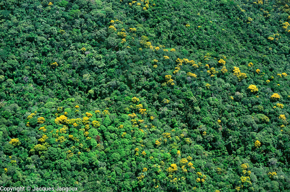 Aerial view of trees with yellow flowers in rainforest on slopes of Mount Yavi, Guyana Highlands, Venezuela.