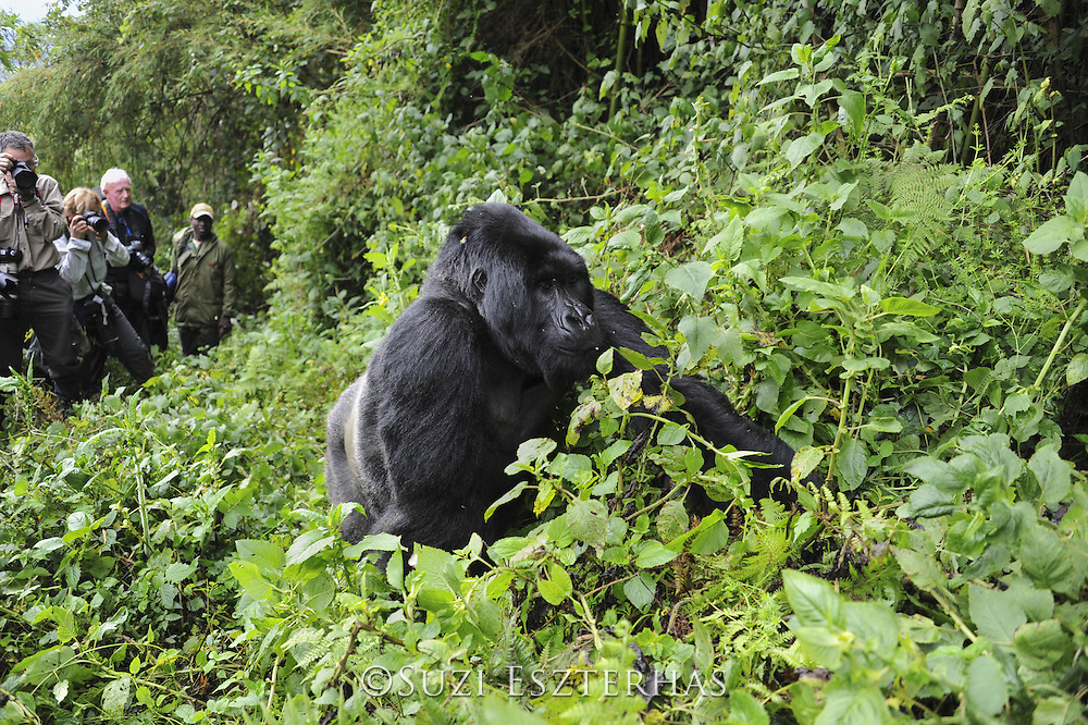 Mountain Gorilla<br /> Gorilla gorilla beringei<br /> Tourist group watching silverback<br /> Parc National des Volcans, Rwanda<br /> *Endangered species