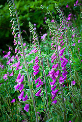 Foxgloves. Digitalis purpurea