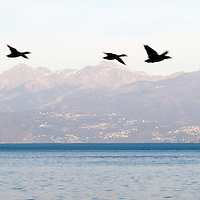 Ducks flying by on Lake Maggiore, Italy