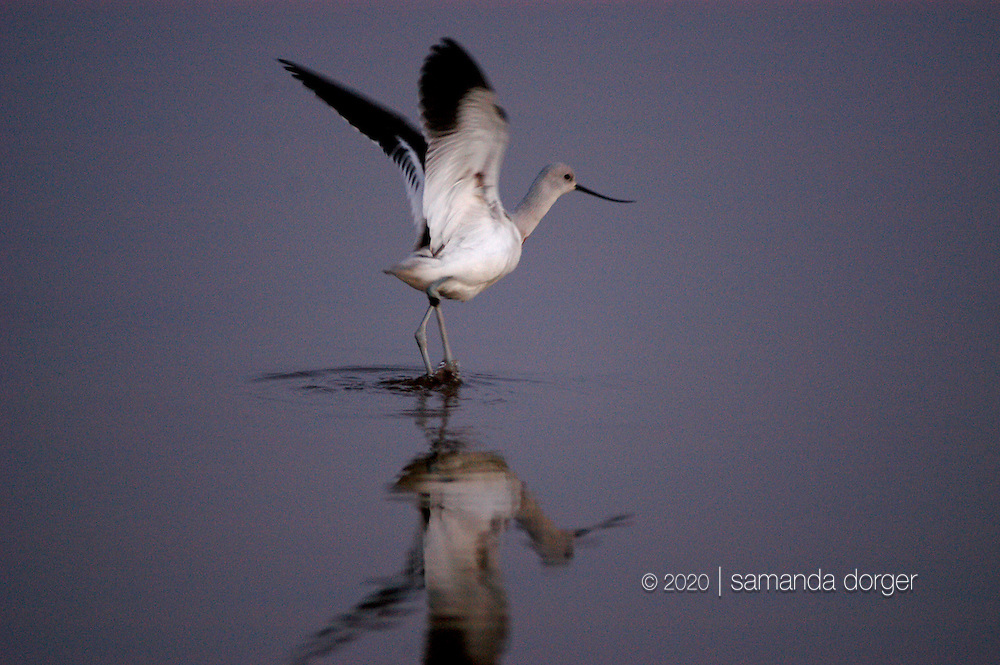 American Avocet in winter plumage, Napa Sonoma marshes, Napa, CA, USA
