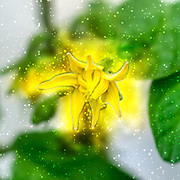 Arbor Day concept Digitally enhanced image of a Yellow tomato blossom on a tomato bush
