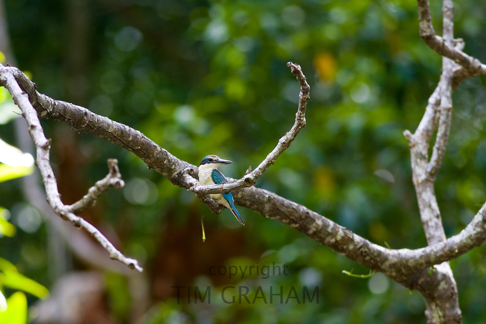 Sacred Kingfisher, Daintree, Queensland, Australia