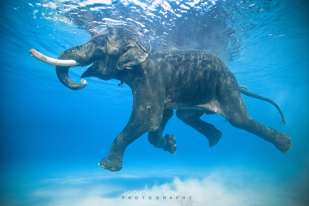One of my most favorite shots.  Rajan, the last of his kind enjoying a free swim