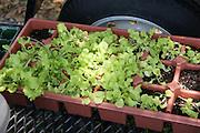 Organic leaf lettuce