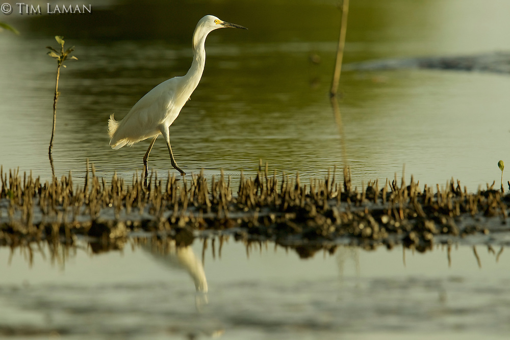 A Snowy Egret (Egretta thula) in the mudflats with mangrove roots in the Orinoco River Delta, Venezuela.
