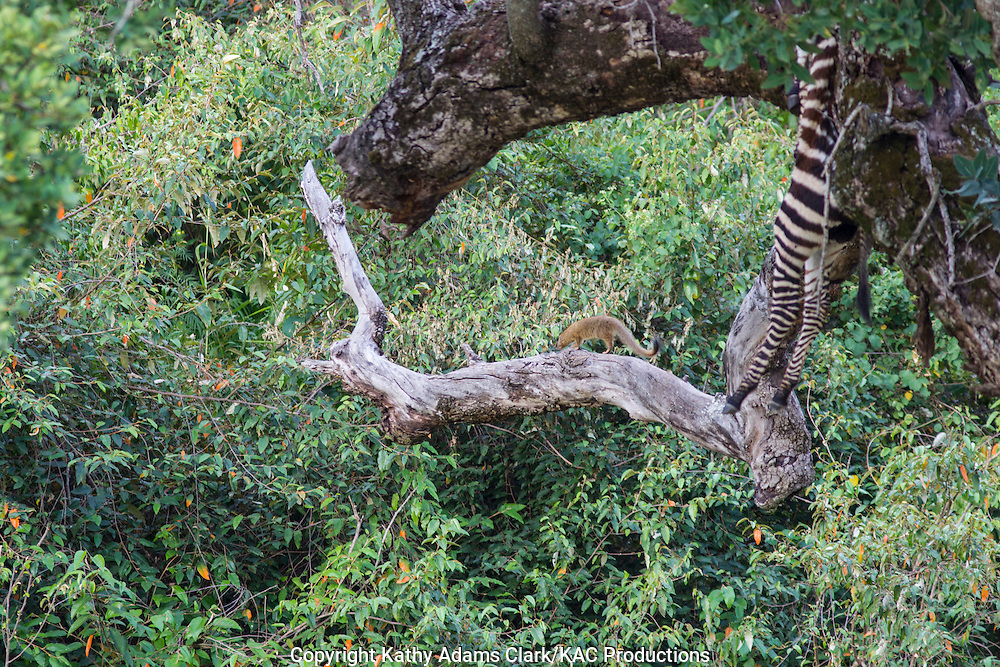 Slender mongoose, Galerella sanguinea, leaving a tree where a leopard has stached a dead zebra, Serengeti National Park, Tanzania, Africa.