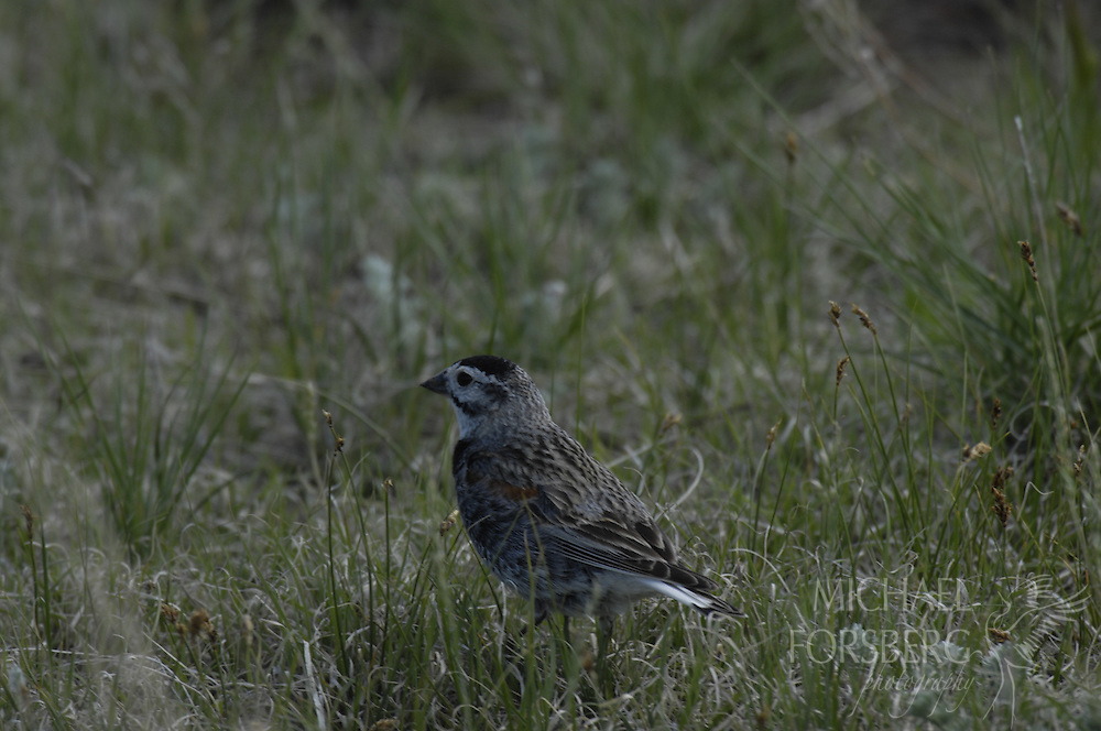 Shortgrass prairie region - Front Range, CO..McCown's Longspur - grassland bird and species on decline..Spring Meadow and Soapstone Ranches (part of Mountains to Plains initiative and open space plan (proper title?) - owned by city of Ft. Collins (recently purchased)..