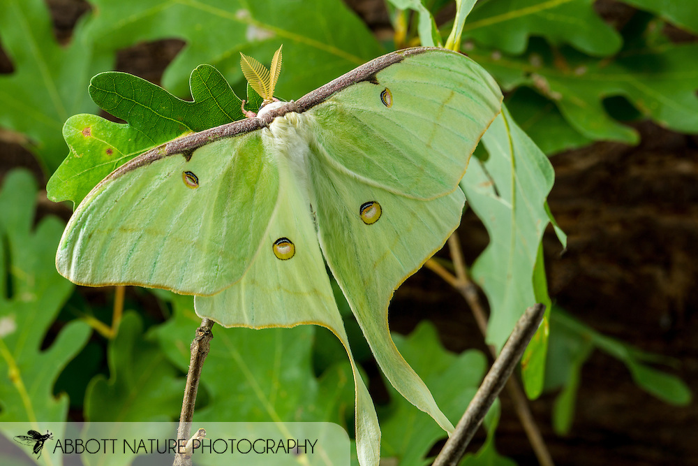 Luna Moth - Hodges#7758 (Actias luna)<br /> United States: Alabama: Tuscaloosa Co.<br /> Tulip Tree Springs off Echola Rd.; Elrod<br /> 24-Jun-2016<br /> J.C. Abbott #2837