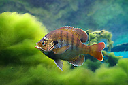 Florida Bluegill<br />