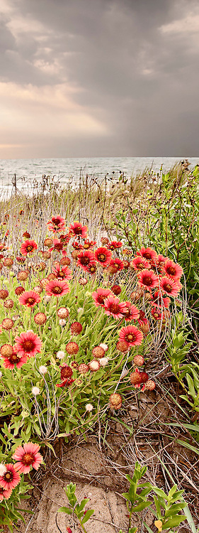 Gaillardia, known as Joe Bells on the Outer Banks of NC.