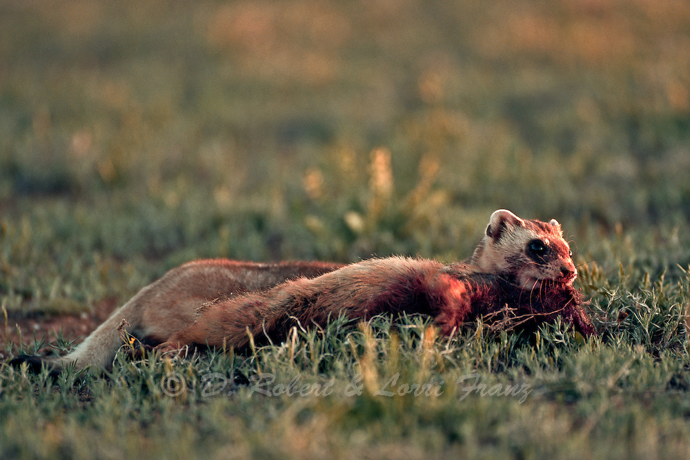 Black-footed ferret attacking and predating a white-tailed prairie dog