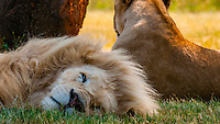 A sleeping male white lion, Lion Park, Johannesburg, South Africa. The white lion is a rare color mutation of the Timbavati region of South Africa.