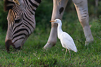 Cattle Egret hunting for isects disturbed by Burchells Zebra, Addo Elephant National Park, Eastern Cape, South Africa