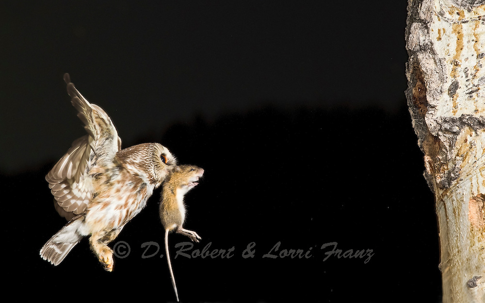 Saw-whet owl bringing deer mouse to it's hungry chicks at a nest in Wyoming