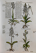 Historical botany study. Illustration of 4 different varieties of orchids by Mathias Lobel. Printed in 1576