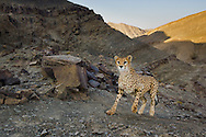 Asiatic cheetah caught by camera trap, Acinonyx jubatus venaticus, Naybandan Wildlife Reserve, Iran