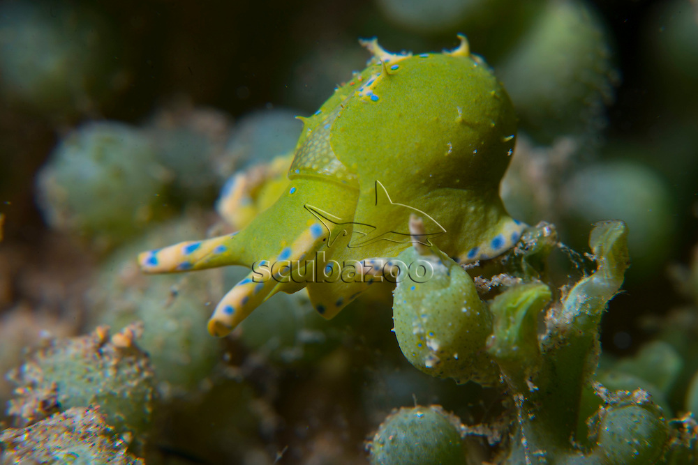 Pair of Sea Snails, Oxynoe viridis, on Green Alga, Caulerpa racemosa, Anilao, Luzon, Guimaras Strait, Philippines