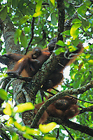 Orangutan female with baby and older juvenile.  Gunung Palung N.P., Borneo, Indonesia.