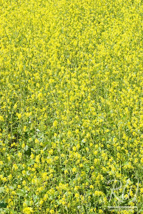 Spring Mustard Flowers, Chino Hills State Park, California