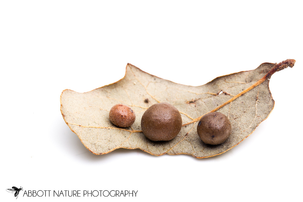 Leaf galls on live oak (Belonocnema treatae) - made by gall wasp<br /> TEXAS: Travis Co.<br /> Brackenridge Field Laboratory<br /> Austin<br /> 20-Dec-2012<br /> J.C. Abbott &amp; K.K. Abbott