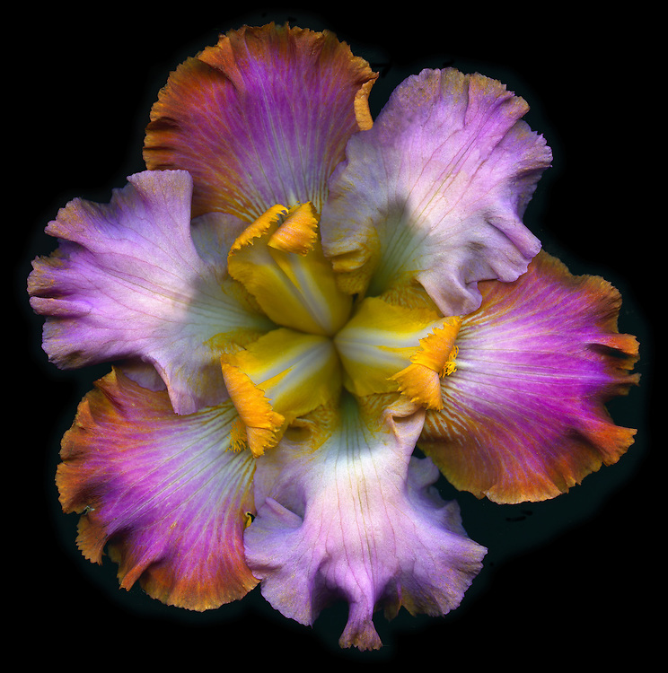 "Tall bearded iris ""Minted Halo"" / #VAR306"